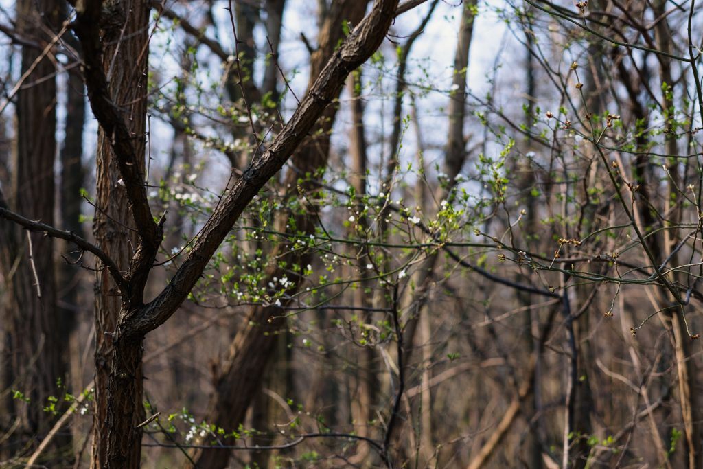 Blooming tree in a forest - free stock photo