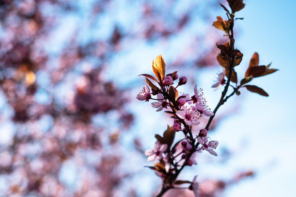 Cherry tree blossom 6 - free stock photo