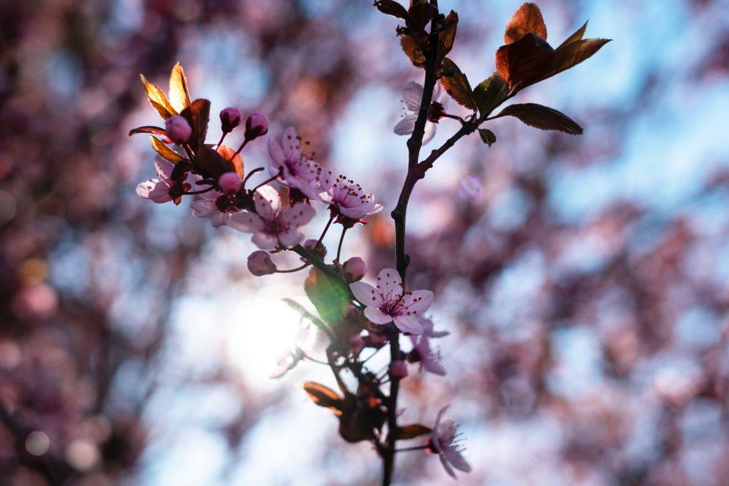 Cherry tree blossom 7 - free stock photo