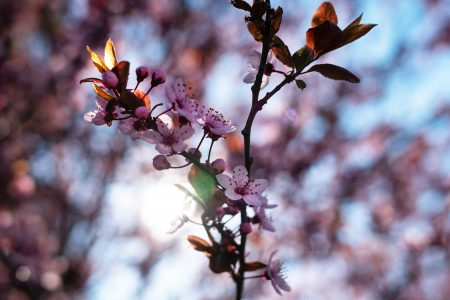 Cherry tree blossom 7 - free stock photo