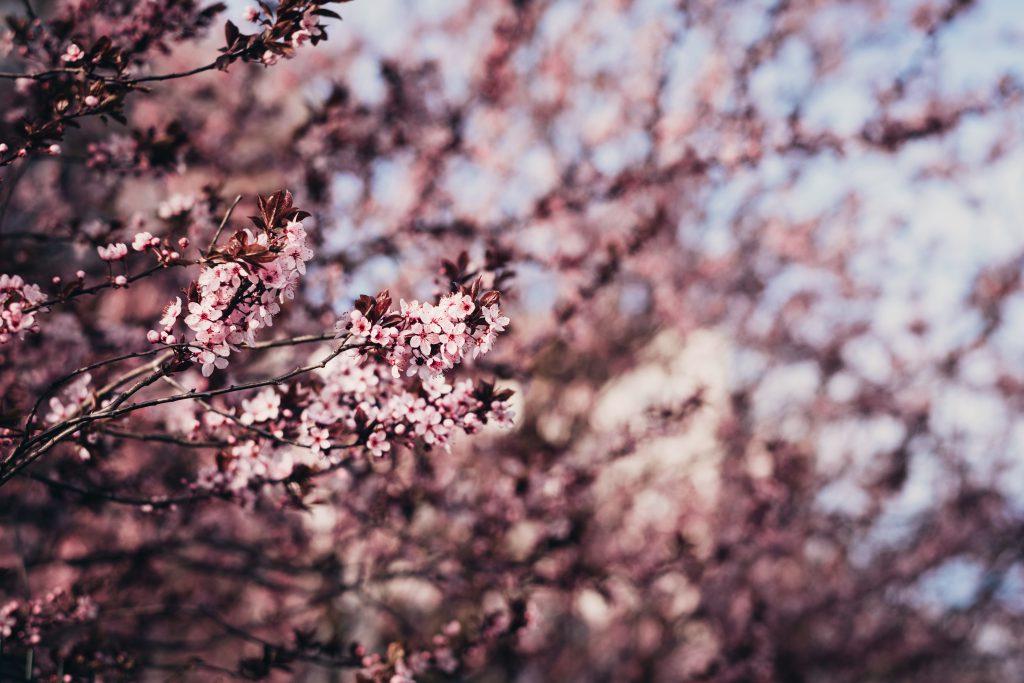 Cherry tree blossom 8 - free stock photo