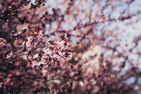 Cherry tree blossom 8 - free stock photo