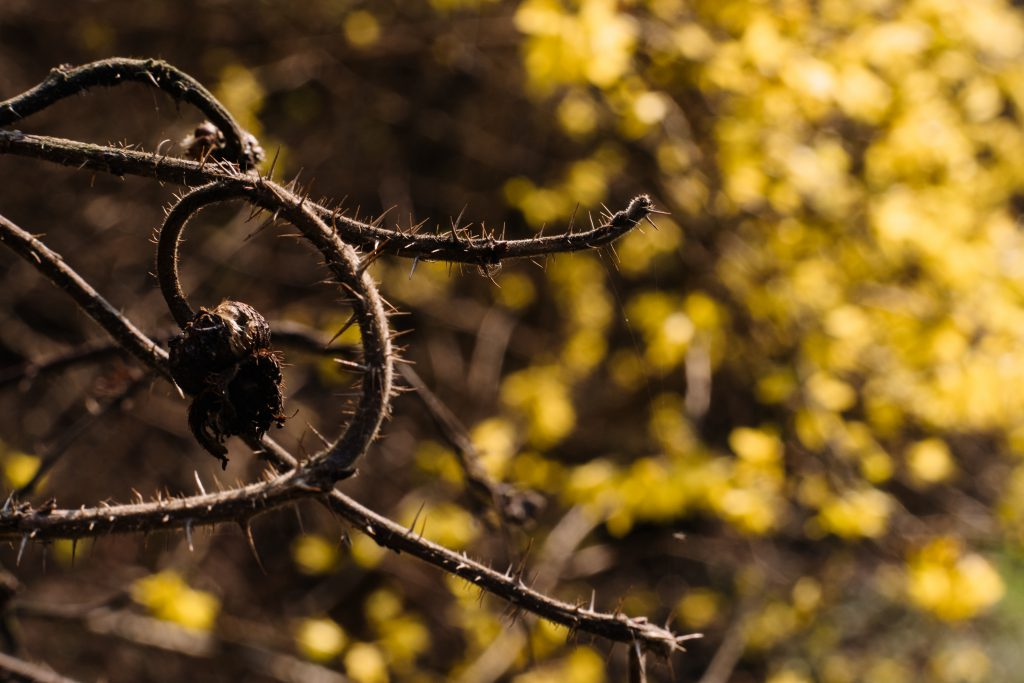 Dried wild rose branch against yellow bush flowers - free stock photo