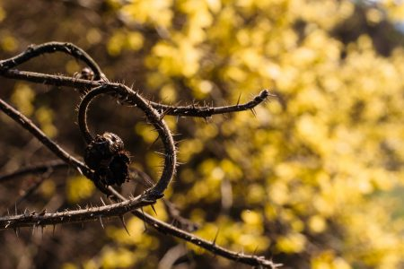Dried wild rose branch against yellow bush flowers 2 - free stock photo