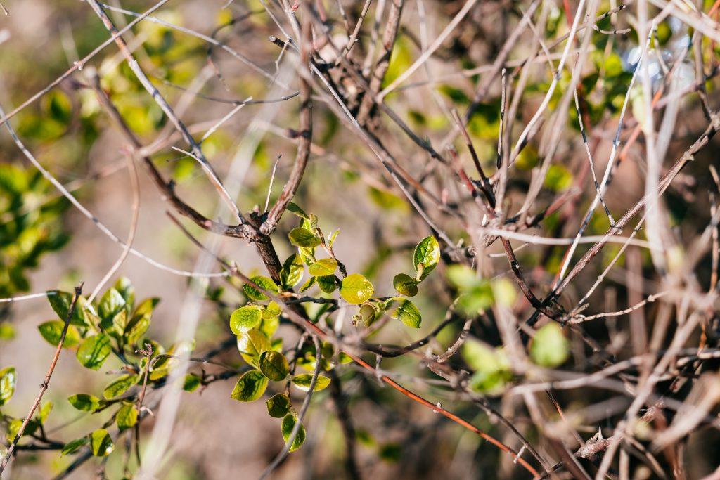 Fresh spring leaves on a hedge bush - free stock photo
