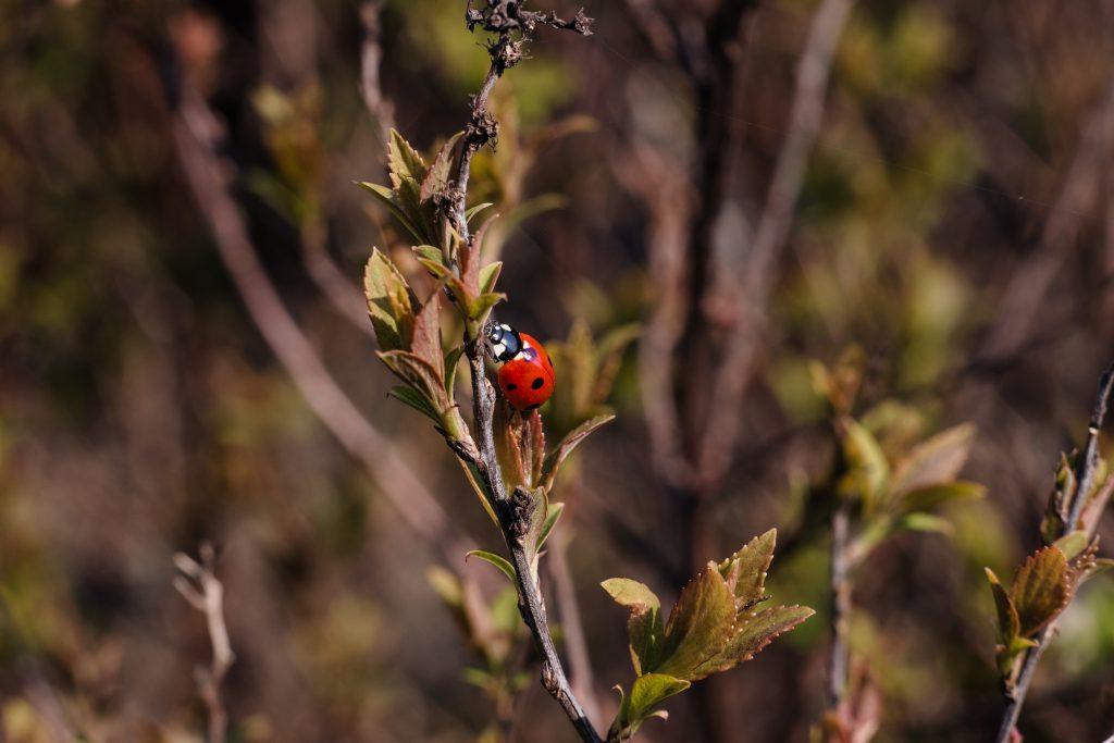 Ladybug on a bush branch - free stock photo