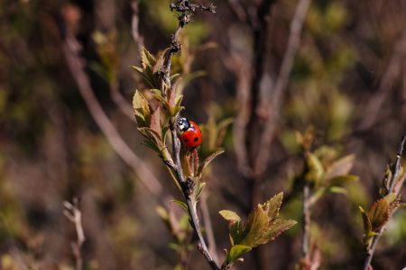 Ladybug on a bush branch - free stock photo