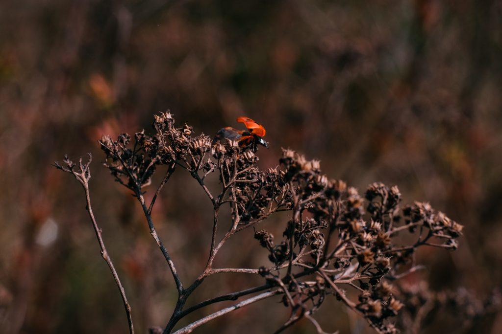 Ladybug on a dried yarrow flower bud - free stock photo