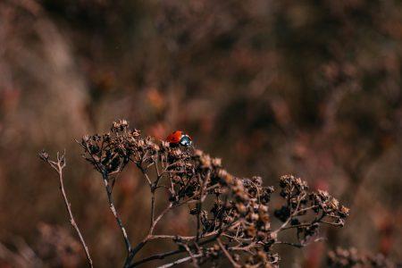 Ladybug on a dried yarrow flower bud 2 - free stock photo