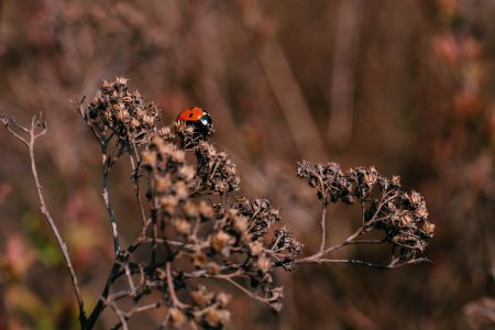 Ladybug on a dried yarrow flower bud 3 - free stock photo