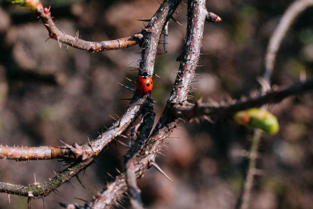 Ladybug on a thorny thick branch of wildrose bush - free stock photo
