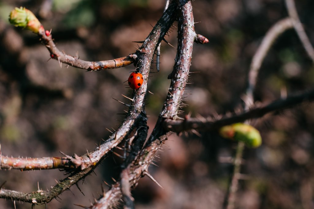 Ladybug on a thorny thick branch of wildrose bush 2 - free stock photo