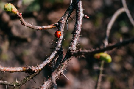 Ladybug on a thorny thick branch of wildrose bush 2 - free stock photo