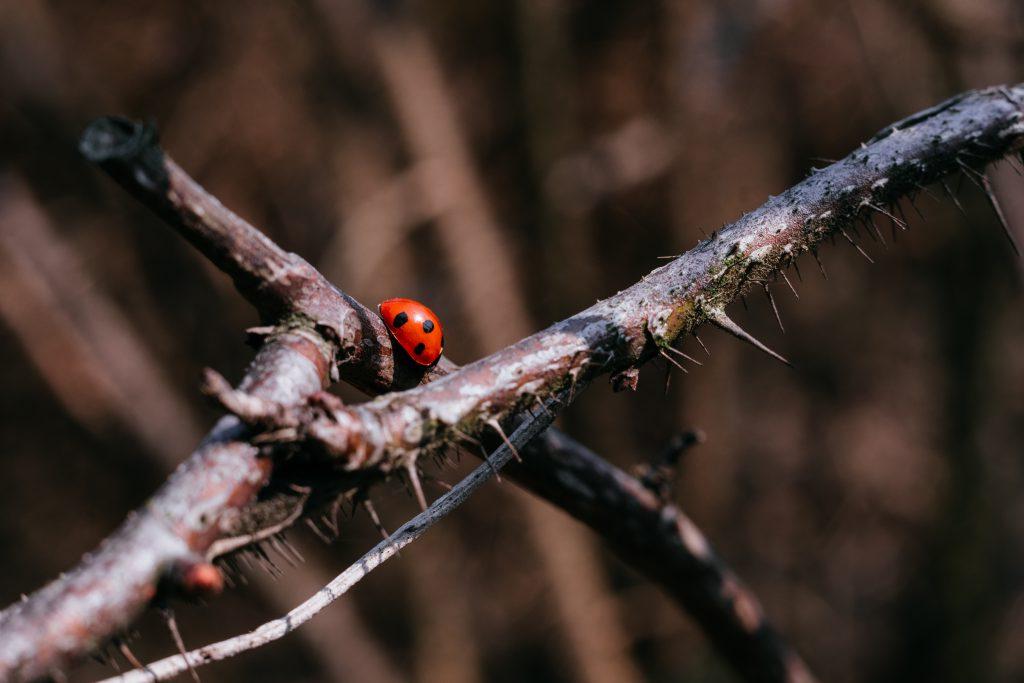 Ladybug on a thorny thick branch of wildrose bush 4 - free stock photo