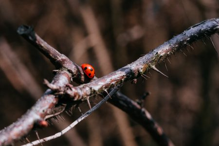 Ladybug on a thorny thick branch of wildrose bush 4 - free stock photo