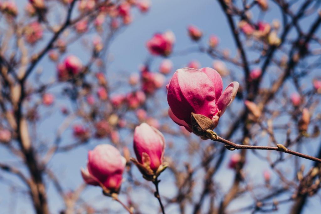 Magnolia tree blossom 10 - free stock photo