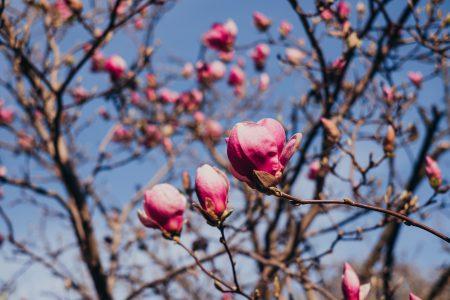 Magnolia tree blossom 11 - free stock photo