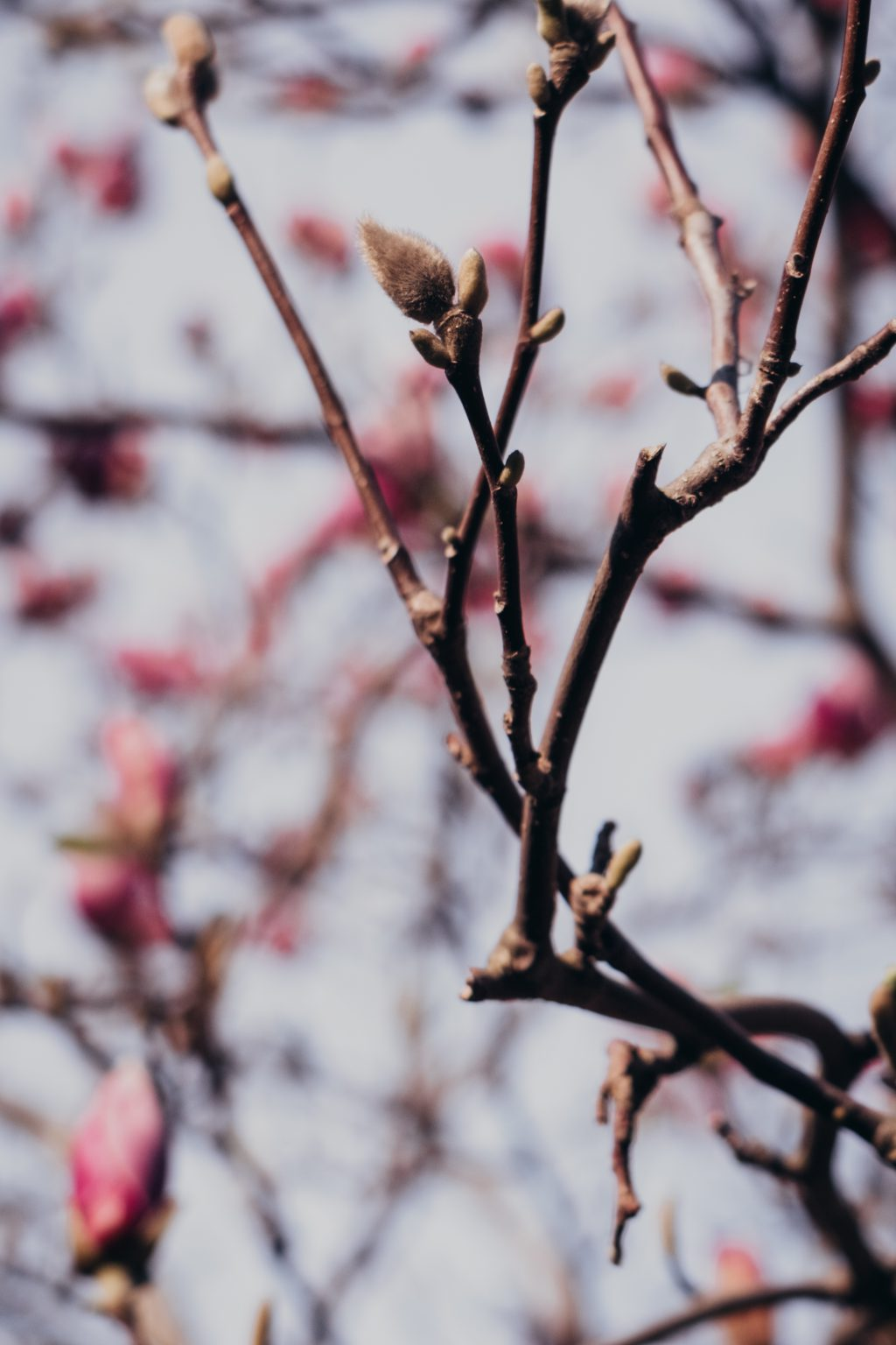 Magnolia tree blossom 12 - free stock photo