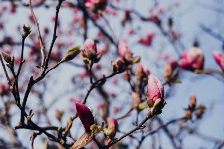 Magnolia tree blossom 13 - free stock photo