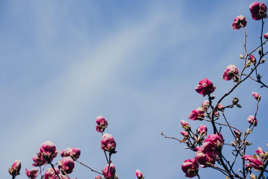 Magnolia tree blossom 3 - free stock photo