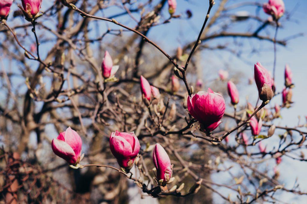 Magnolia tree blossom 4 - free stock photo