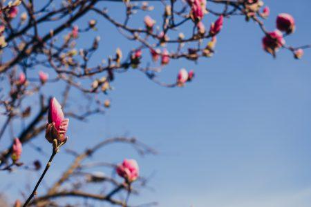 Magnolia tree blossom 5 - free stock photo