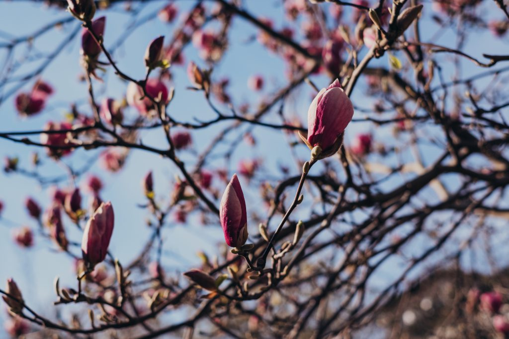 Magnolia tree blossom 6 - free stock photo