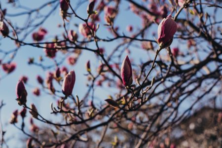 Magnolia tree blossom 7 - free stock photo