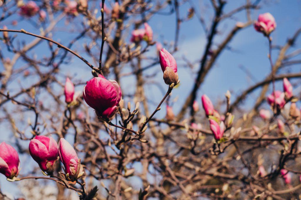 Magnolia tree blossom 8 - free stock photo