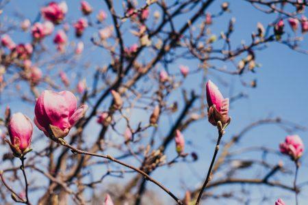 Magnolia tree blossom 9 - free stock photo