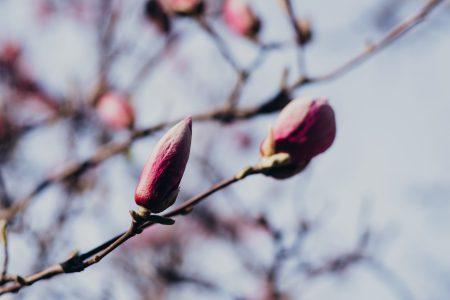 Magnolia tree blossom closeup 2 - free stock photo
