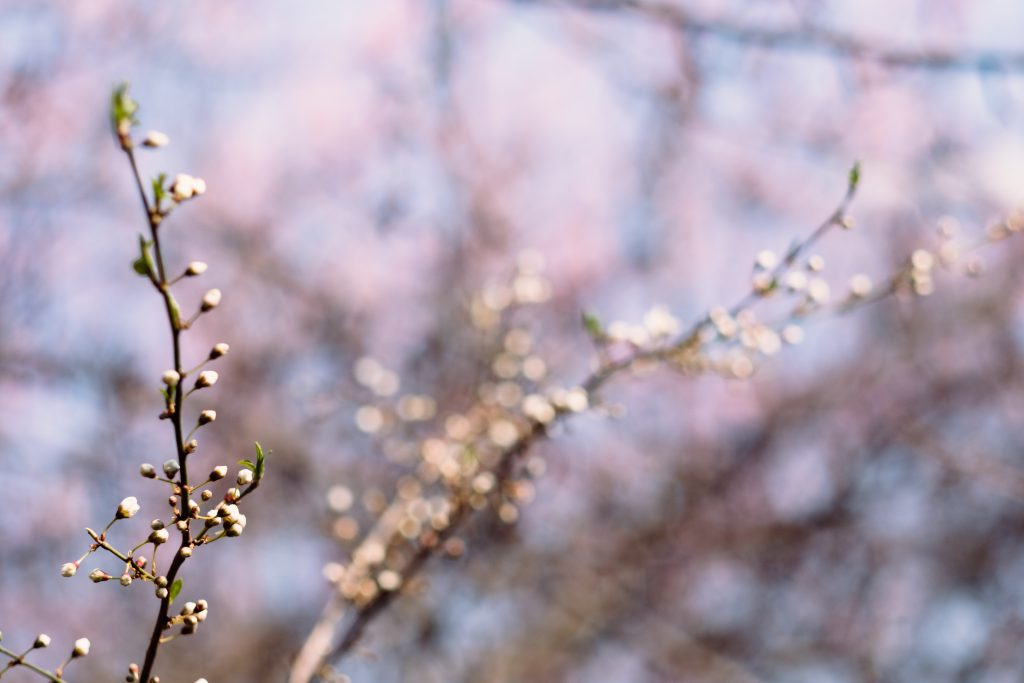 White tree blossom 10 - free stock photo