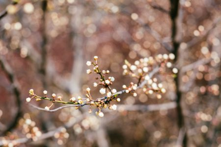 White tree blossom 11 - free stock photo