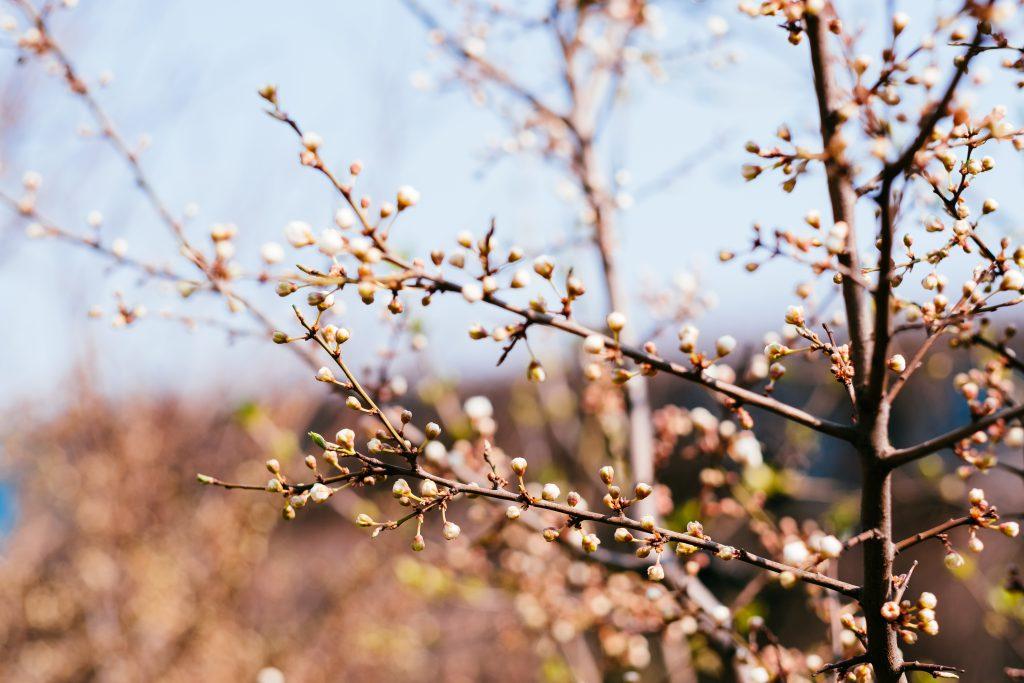 White tree blossom 12 - free stock photo