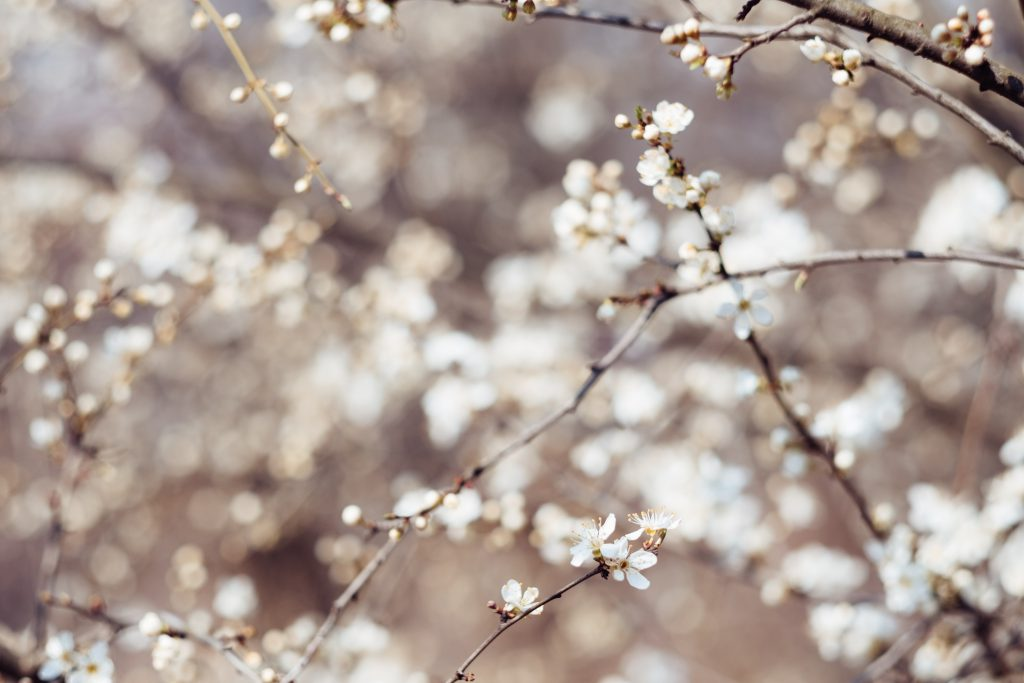 White tree blossom 13 - free stock photo