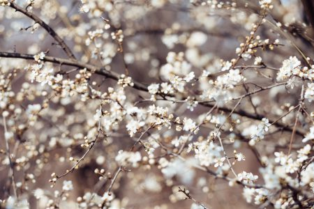 White tree blossom 15 - free stock photo