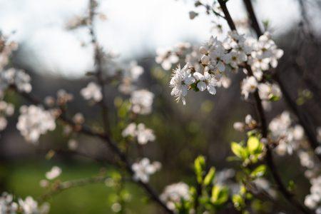 White tree blossom 16 - free stock photo