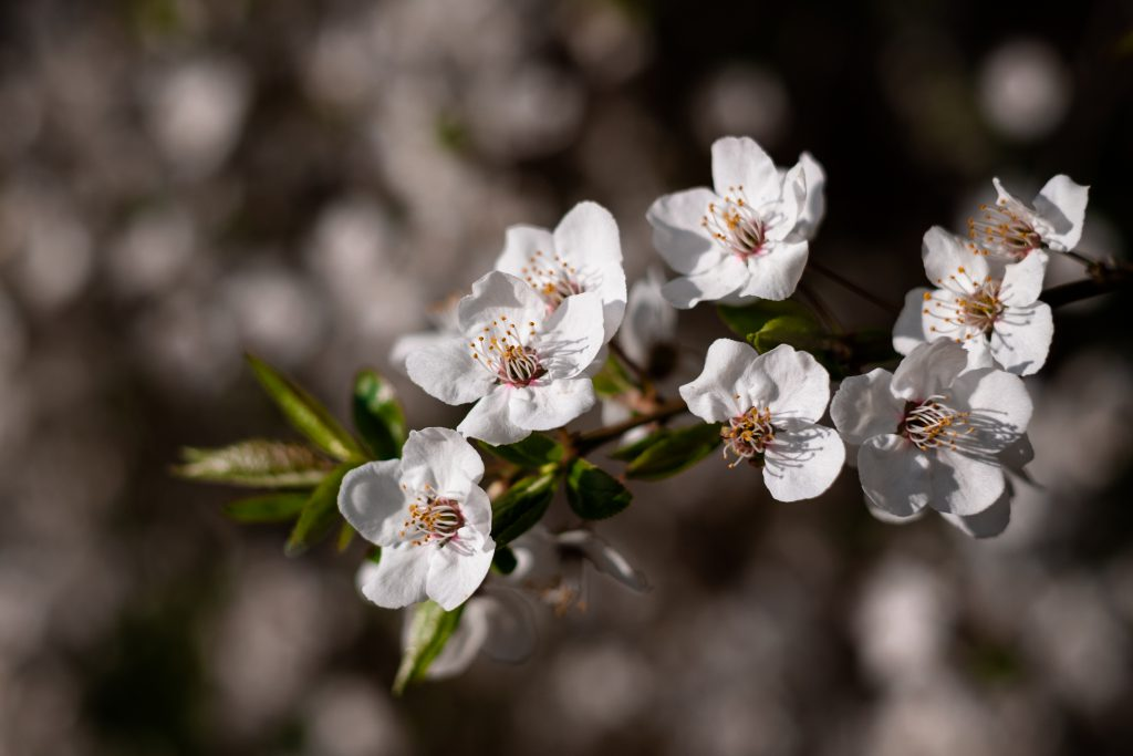 White tree blossom 17 - free stock photo