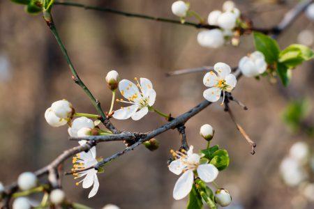 White tree blossom 18 - free stock photo