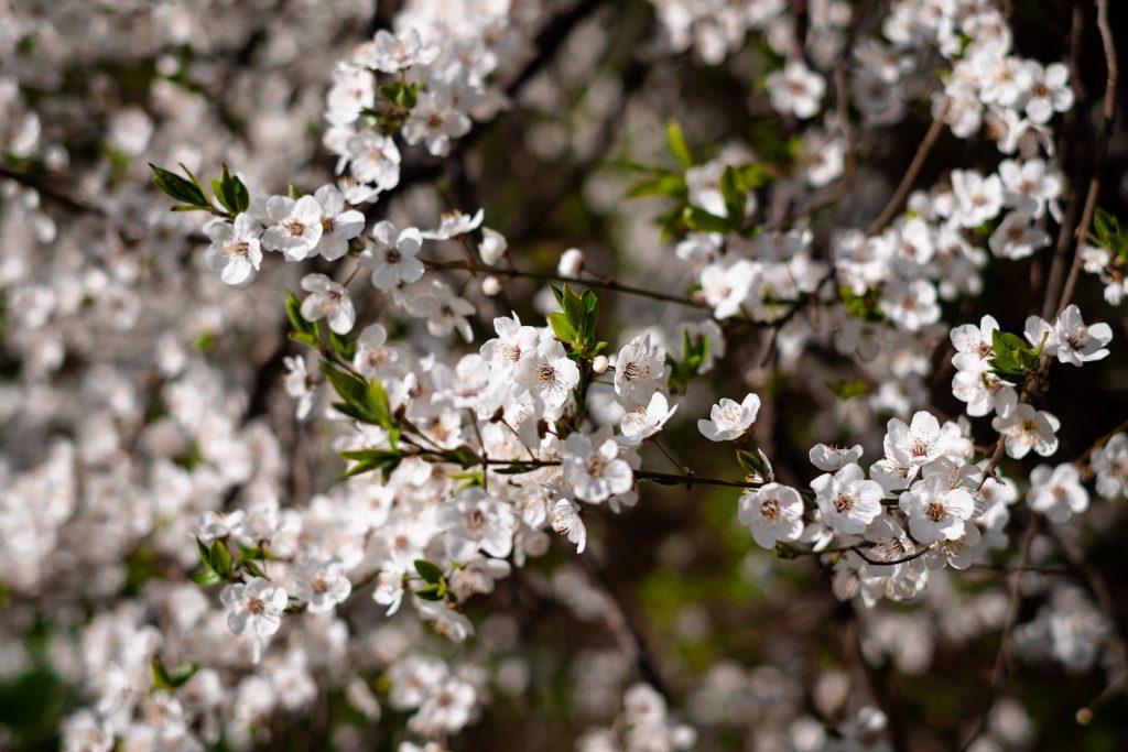 White tree blossom 19 - free stock photo