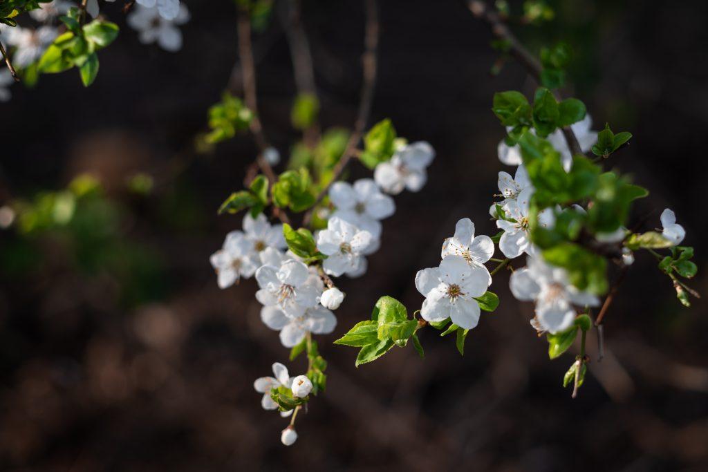 White tree blossom 21 - free stock photo