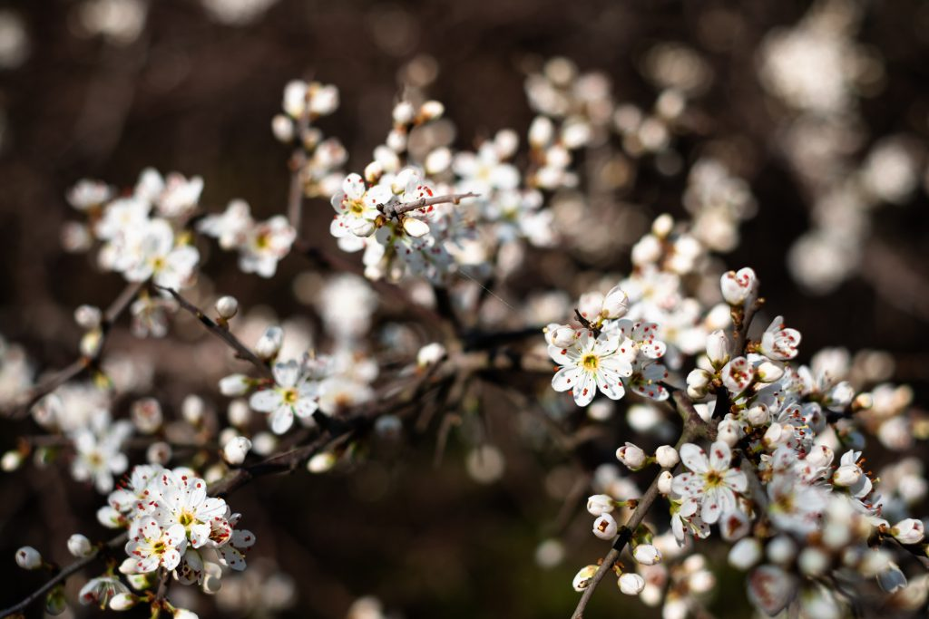 White tree blossom 22 - free stock photo
