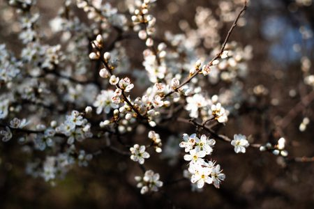 White tree blossom 23 - free stock photo