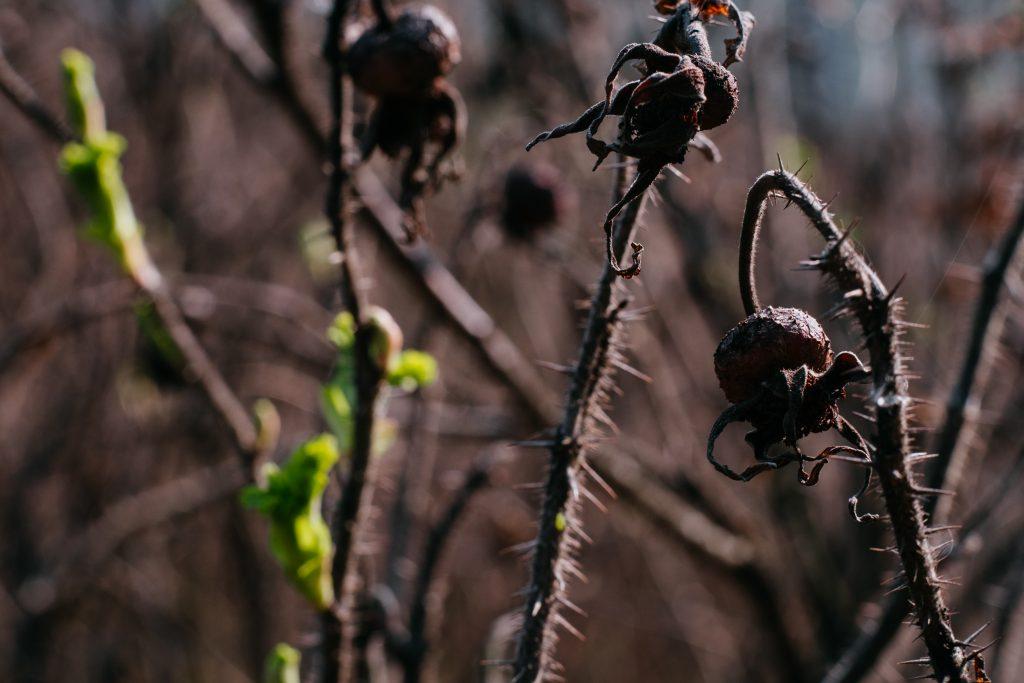Wild rose bush coming to life 4 - free stock photo