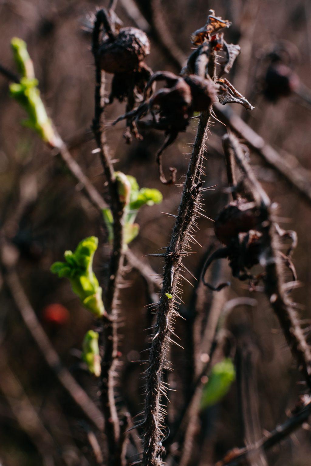 Wild rose bush coming to life 5 - free stock photo