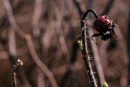 Wild rose bush coming to life 7 - free stock photo