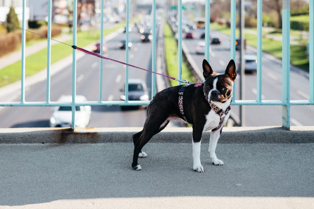 Boston Terrier on a walk in the city - free stock photo