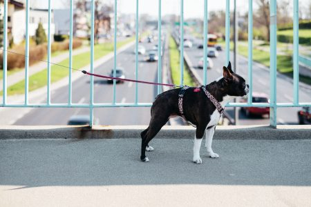Boston Terrier on a walk in the city 2 - free stock photo