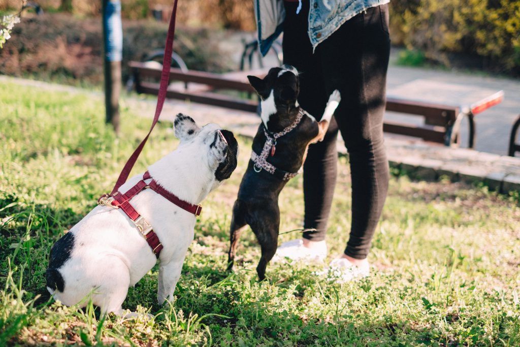 A female playing with two dogs in the park 5 - free stock photo