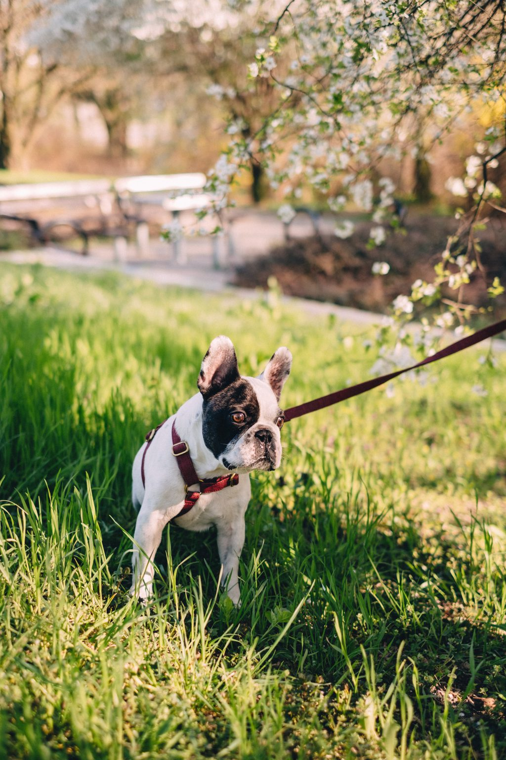 French Bulldog looking shocked on a walk in the park - free stock photo